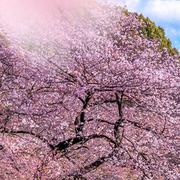櫻花季來臨~攜程國際:精選 東京、大阪、京都、札幌等地酒店預定