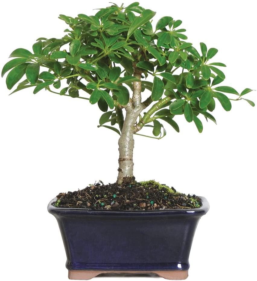绿植养眼又静心,三年树龄盆栽摇钱树/发财树